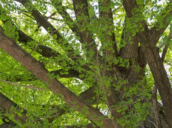 立派な幹の大樹